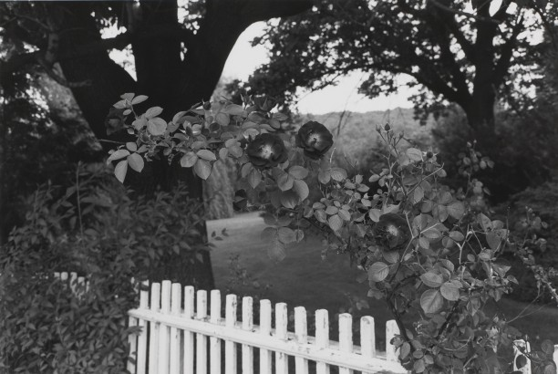 Untitled, Pomona, New York (Roses, Bulbs, and Fence)