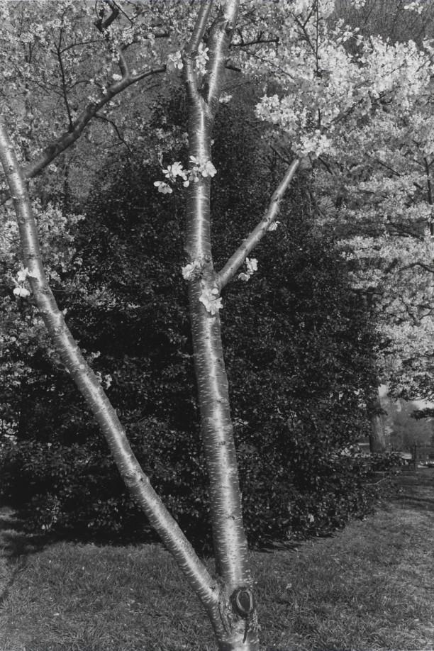 Untitled, Washington D.C. (Shiny Tree Trunk with Blossoms)