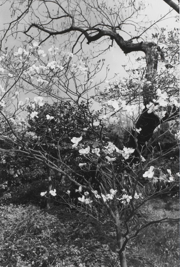 Untitled, Tokyo, Japan (Tree with White Blossoms)