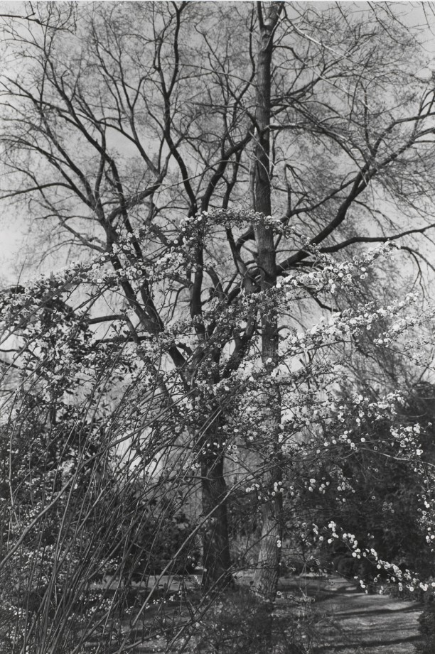 Untitled, Washington, D.C. (White Blossoms on Leaning Branches)