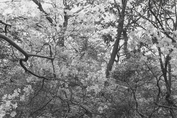 Untitled, Tokyo, Japan (Thick Brush with White Blosssoms)