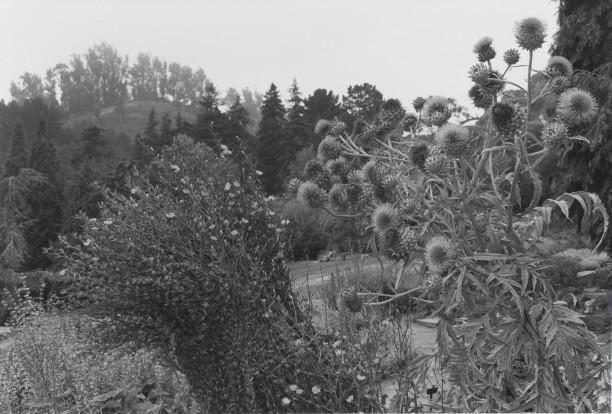 Untitled, Berkeley, California (Thistles)