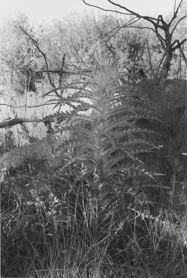 Untitled, West Yellowstone, Wyoming (Tall Weed)