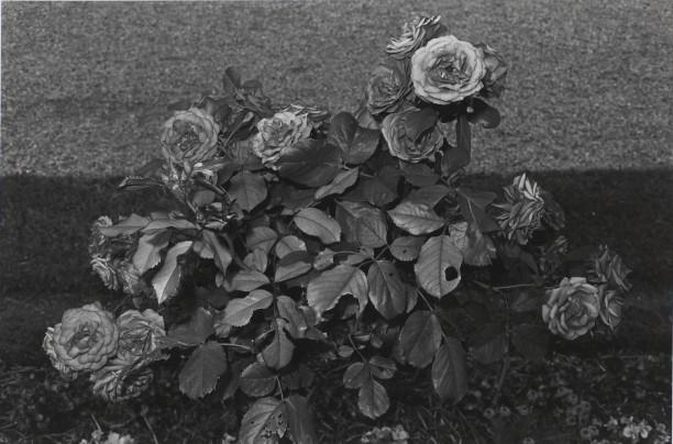 Untitled, St. Cloud, France (Rosebush)