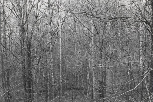 Untitled from Shiloh National Military Park, Tenessee (forest of trees and branches)