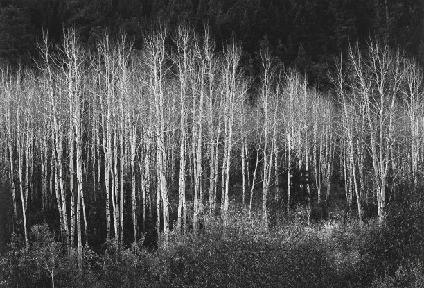 Aspens, Dawn, Dolores River Canyon