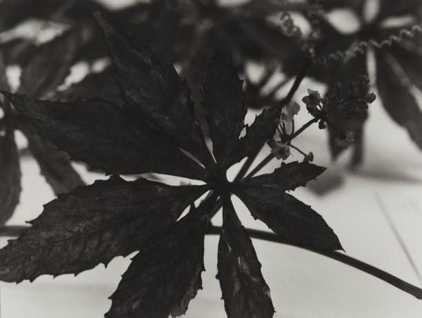 Colombia, 1989Blaschka Model 158, 1890 Genus no. 8642 Family, Cucurbitaceae Cyclanthera pedata Schrad. Pepino de Comer