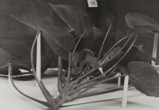 Dominican Republic, 1989Blaschka Model 601, 1896 Genus no. 4493 Family, Euphorbiaceae Hura crepitans Linn. Sandbox tree