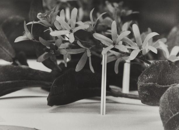 El Salvador, 1989Blaschka Model 639, 1898 Genus no. 7158 Family, Verbenaceae Petrea volubilis Jacq. Purple Wreath