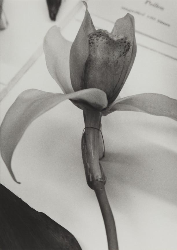 Guatemala, 1989Blaschka Model 227, 1891 Genus no. 1660 Family, Orchidaceae Lycaste Skinneri (Batem.) Lindl.