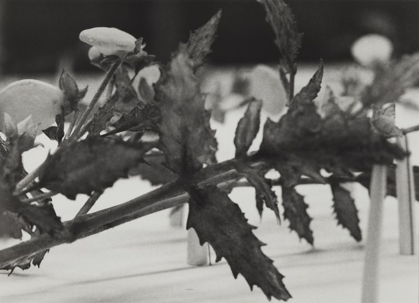 Peru, 1989Blaschka Model 180, 1890 Genus no. 7474 Family, Scrophulariaceae Calceolaria scabiosaefolia Roem and Schult.