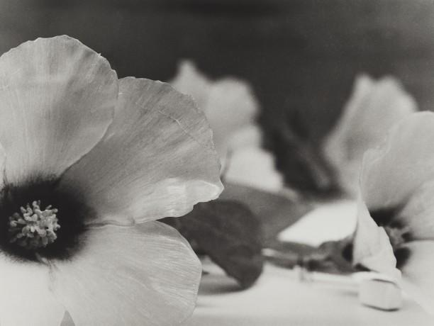 Philippines, 1989Blaschka Model 387, 1893 Genus no. 5020 Family, Malvaceae Gossypium herbaceum Linn. Gossypium Nanking Meyen Nanking Cotton
