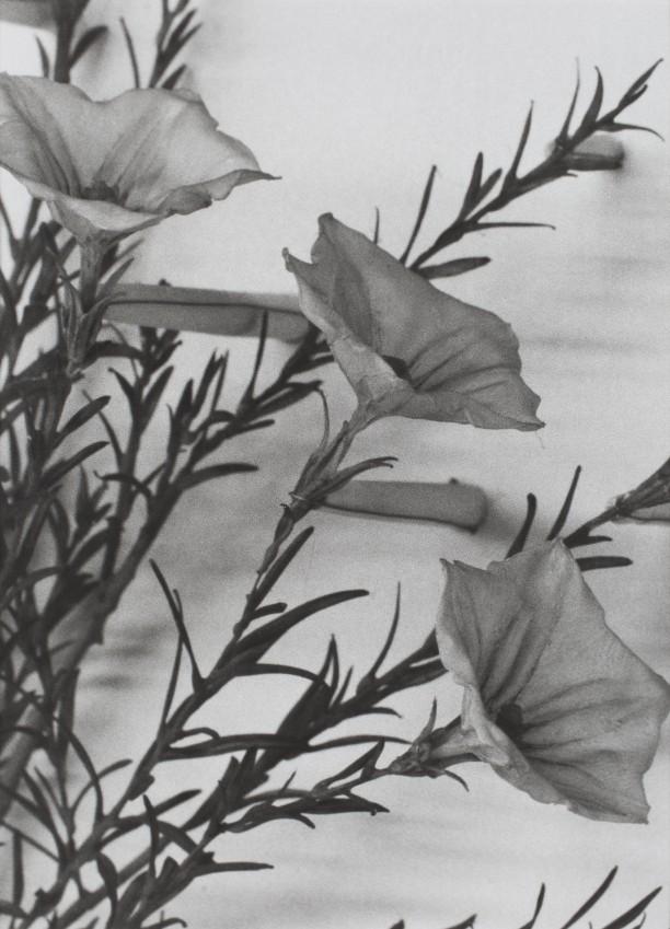 Vietnam, 1989Blaschka Model 272, 1892 Genus no. 8594 Family, Cucurbitaceae Luffa cylindrica (Linn.) Roem.