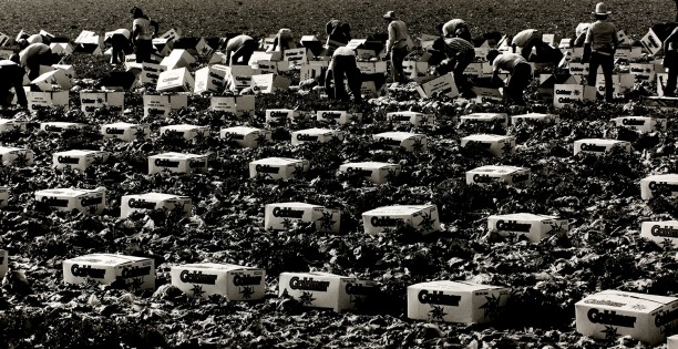 Lettuce Pickers, Brawley, California