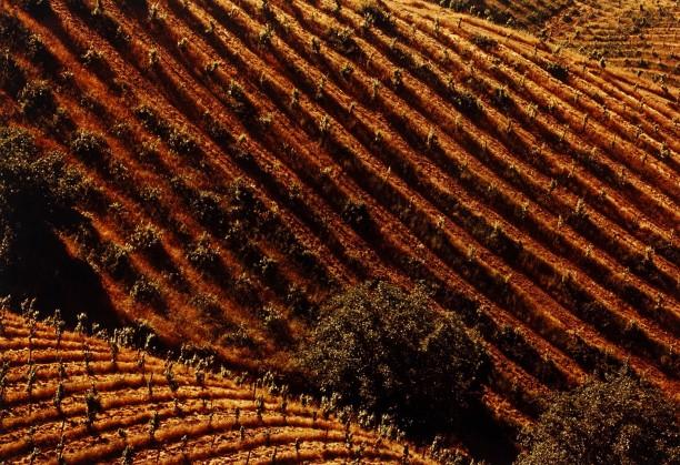 Tilled Vineyards