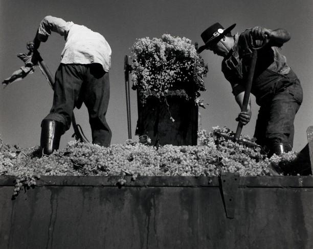Two Men Shoveling Grapes