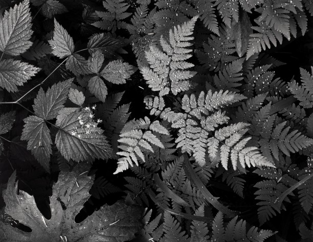 Leaves, Mount Rainier National Park, Washington