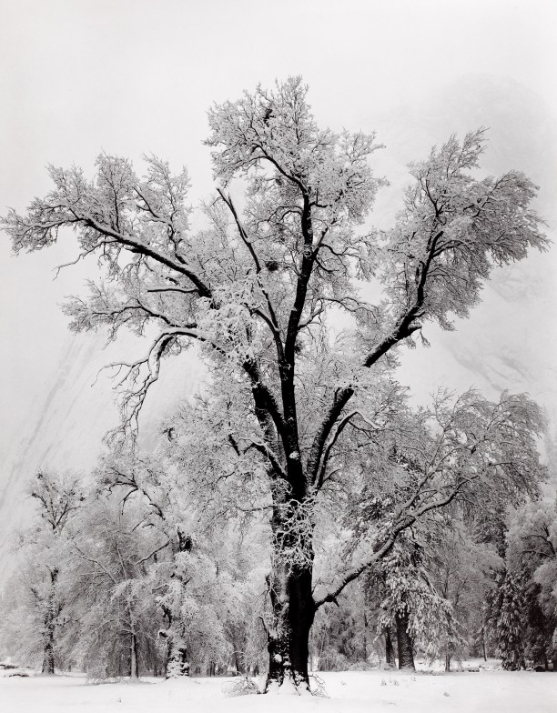 Oak Tree, Snowstorm, Yosemite National Park, California