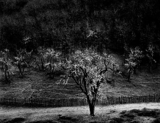 Oak Tree, Rain, Sonoma County, California